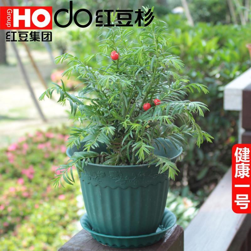 防辐射植物盆栽盆景