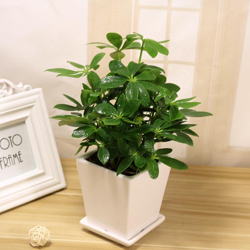 七叶莲盆栽鹅掌柴去尼古丁鸭脚木四季常青植物室内客厅办公室吸甲醛