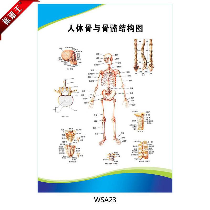 医院科室挂图宣传画海报,人体骨与骨骼结构图示意图贴画wsa