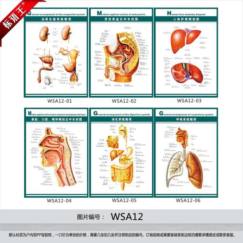 订做医院挂图海报,人体器官系统结构图示意图解剖图贴画wsa1215044018