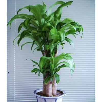 【润然花卉品牌】巴西木盆栽【报价
