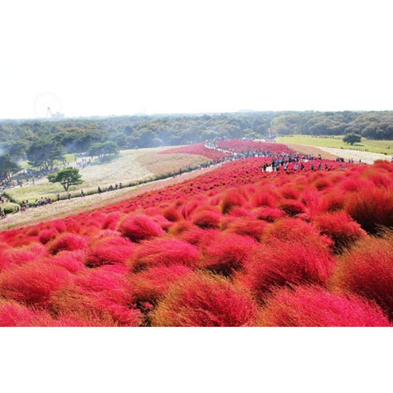 我要发芽 四季盆栽花卉观叶植物 红叶地肤种子 易种花草 对土壤要求不图片