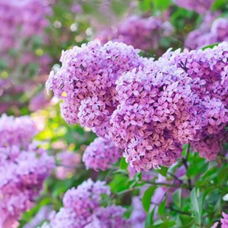 膀胱发芽种子丁香紫丁香花我要花香树花淡紫色结石浓郁花卉种植种子庭院金钱草图片