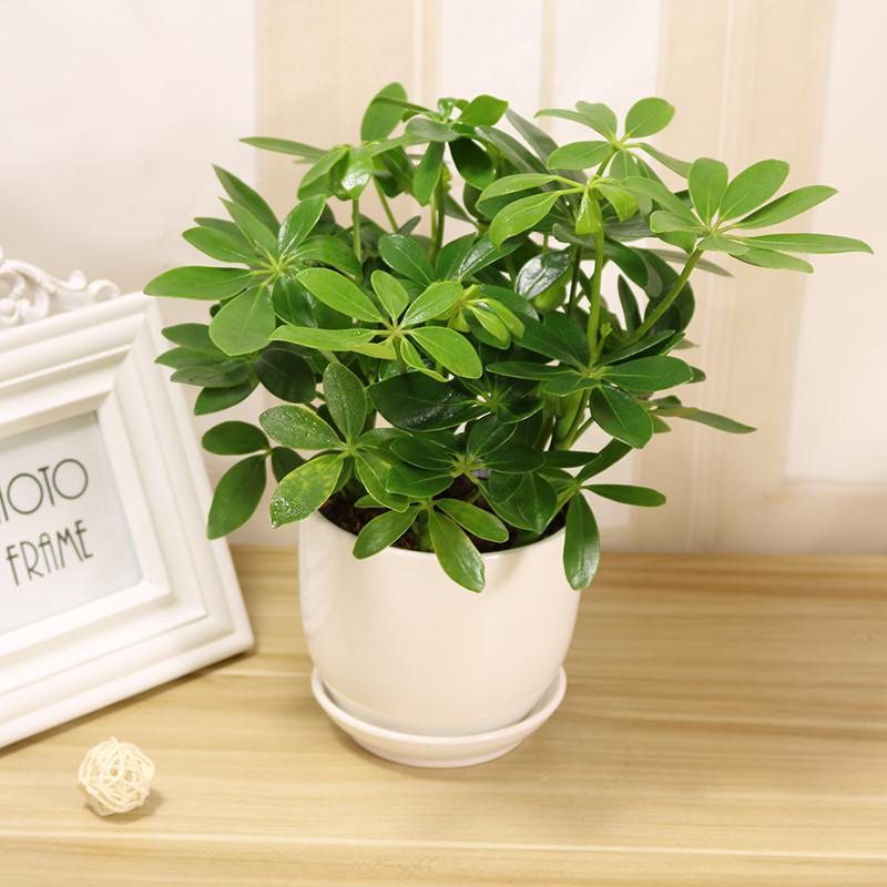 七叶莲盆栽鹅掌柴去尼古丁鸭脚木四季常青植物室内客厅吸甲醛绿植