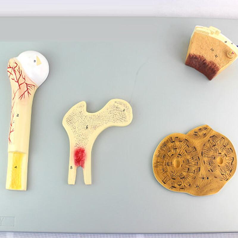 人体骨骼模型透明胸骨骨骼肌纤维长骨骨干长骨结构
