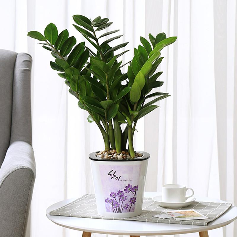 室内植物装饰摆件金钱树盆栽客厅花卉盆景盆栽绿植-大