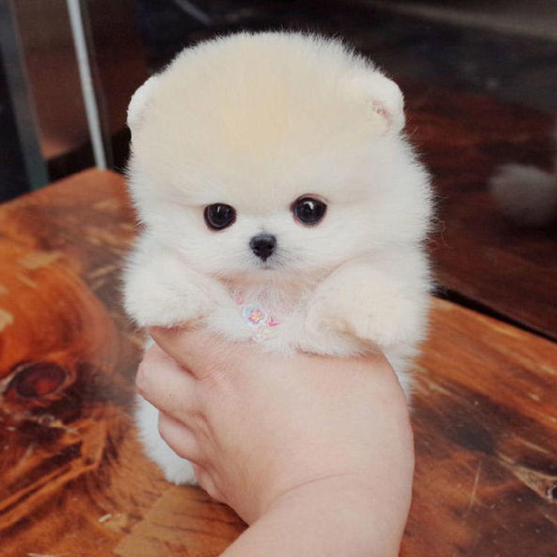 出售博美幼犬博美犬长不大的袖珍博美犬俊介犬茶杯犬宠物狗狗