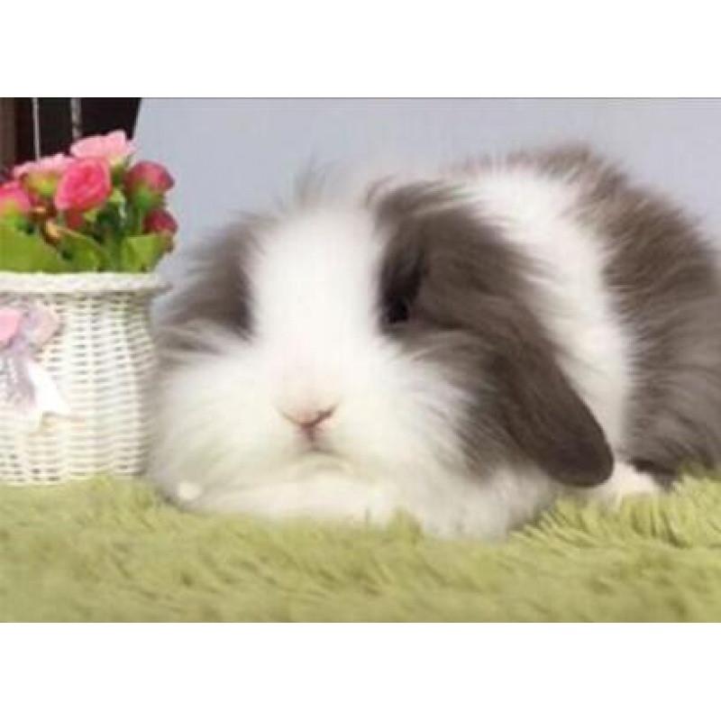 生日礼物宠物小兔子纯种荷兰精品垂耳兔盖脸猫猫兔侏儒茶杯兔