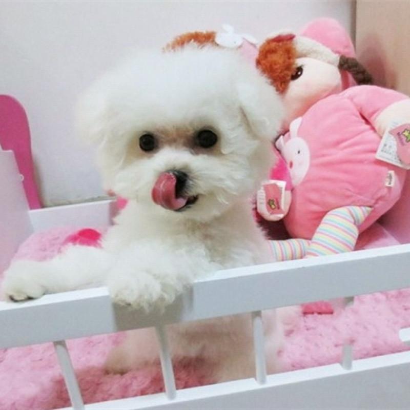 可爱纯种白色比熊幼犬宠物狗狗长不大小体茶杯犬小型犬幼崽