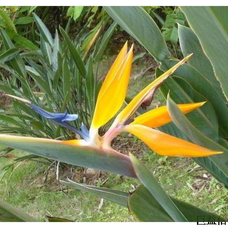 鹤望兰盆栽型客厅植物办公室绿化室内花卉绿植 极乐鸟