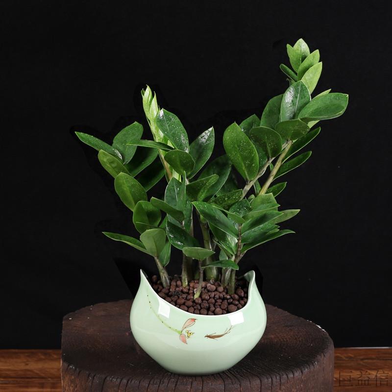 金錢樹巨益信小盆栽植物室內客廳綠植搖錢樹辦公室盆景花卉凈化空氣