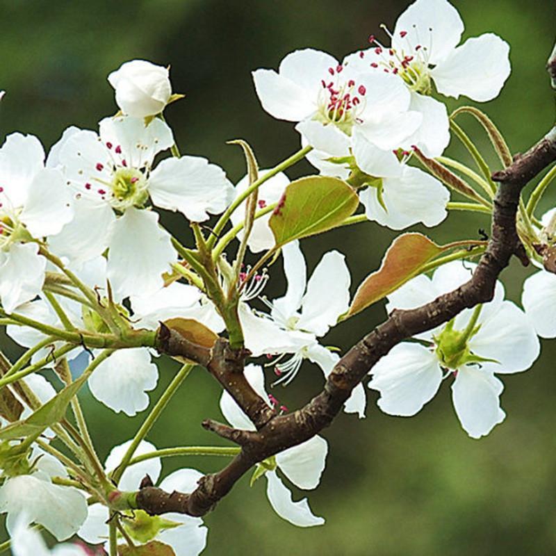 林木种子 杜梨种子 杜梨树种子 棠梨 海棠梨 野梨子 土梨 一斤价